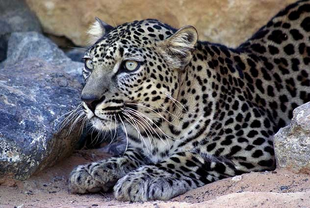 Leopardo arabe 1