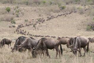 Sergio-pitamitz-wildebeest-connochaetes-taurinus-masai-mara-kenya-east-africa-africa a-G-13042642-4990827