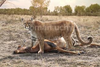 Puma euroasiatico 1