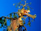 Dragón de Mar Foliáceo