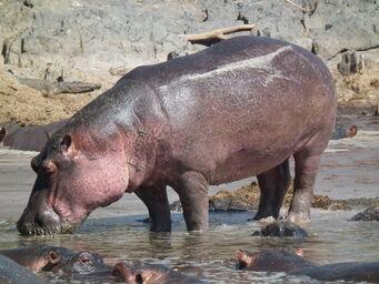 Hippopotamus amphibius in Tanzania 2830 Nevit