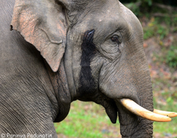 Elefante asiatico 8