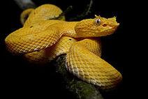 250px-Bothriechis schlegelii (La Selva Biological Station)