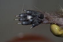 220px-Erinaceus europaeus leg (1)