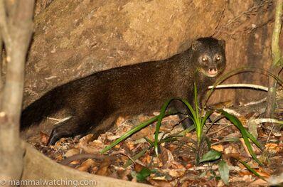 JON-HALL-2018-Marsh-Mongoose-Atilax-paludinosus-3