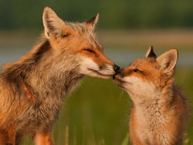 Mama y cachorro zorro