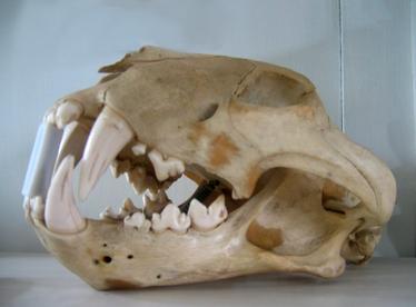 Cráneo de tigre