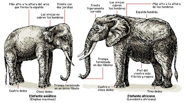 Elefante asiatico 7
