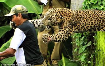 Leopardo indio 12