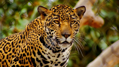 Jaguar hd full