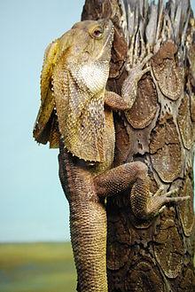 220px-Chlamydosaurus kingii -Taronga Zoo, Sydney, Australia-8a