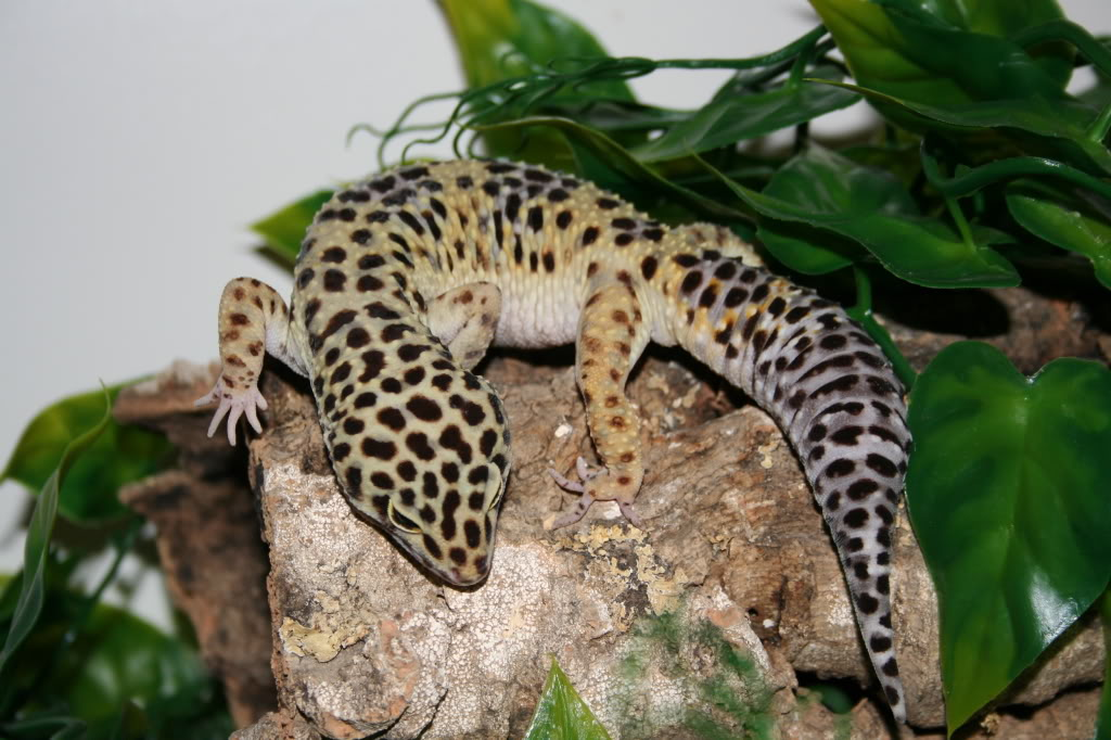 Gecko Leopardo | Wiki Reino Animalia | FANDOM powered by Wikia