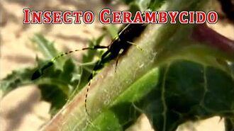 """""""Cerambycidae escarabajo longicornio""""""""Escarabajo largos cuernos""""""""Cerambícido escarabajo longicornio"""""""