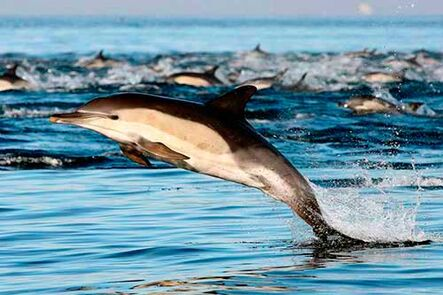 Tierra-de-delfines-Delphinus-capensis-34-500x333
