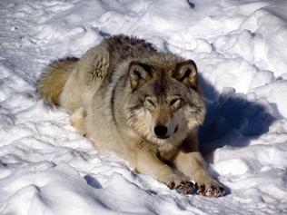 Lobo acostado
