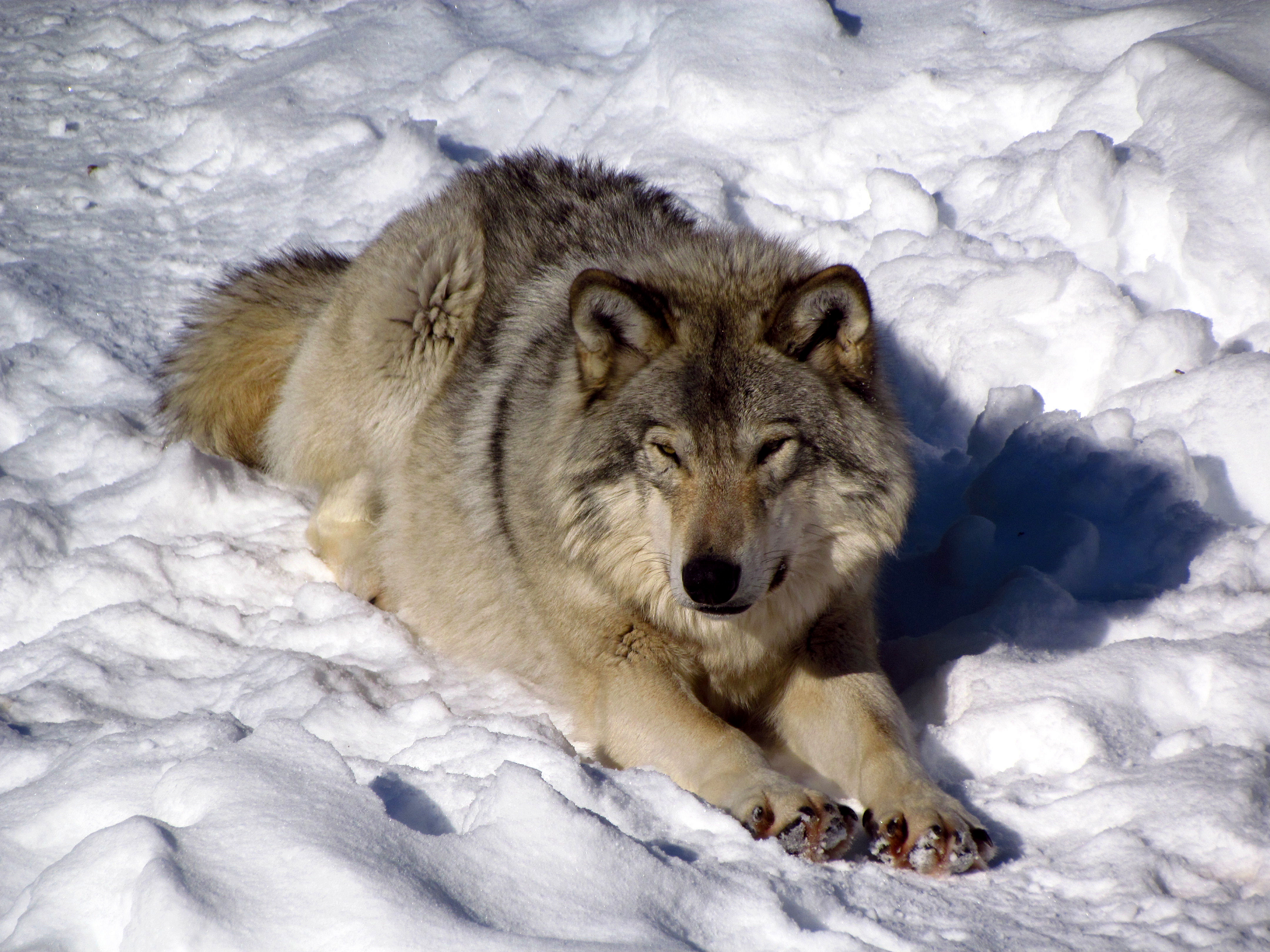 Lobo Gris | Wiki Reino Animalia | FANDOM powered by Wikia
