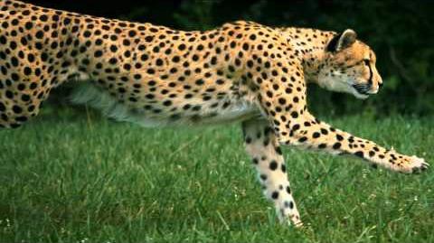 Running Cheetah on High Speed HD Camera