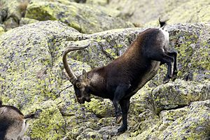 Spanish Ibex AdeFrias
