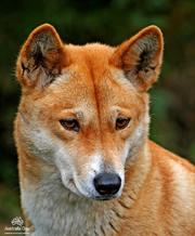 Dingo 5