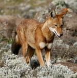 Lobo etiope