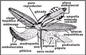 Equinodermos Wiki Reino Animalia Fandom