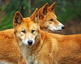 Dingo 7