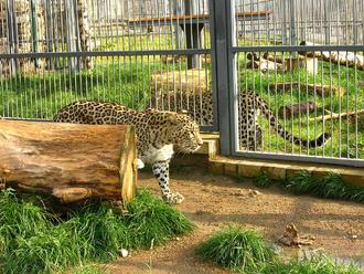 Leopardo caucasico 2