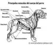 Musculos caninos
