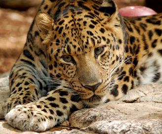 Leopardo 4