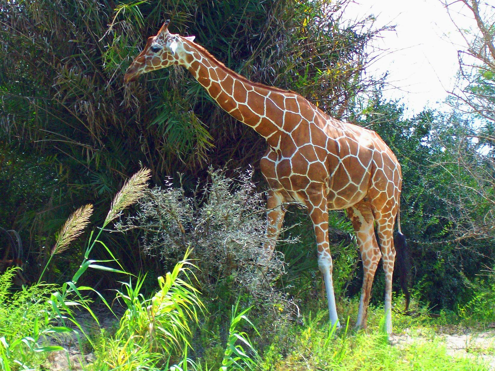 Jirafa | Wiki Reino Animalia | FANDOM powered by Wikia