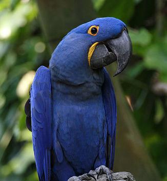 Guacamayo azul 3