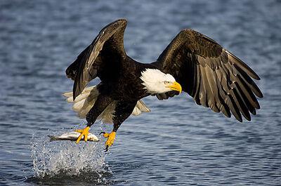 Aguila calva pescando