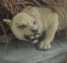 Leopardo de zanzibar