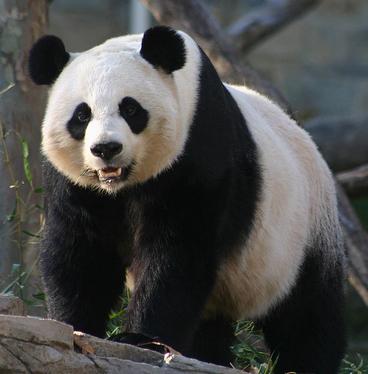 Oso panda 7