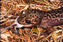 Dicamptodontidae