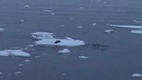 Orcas cazando una foca
