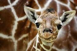 Cria de jirafa