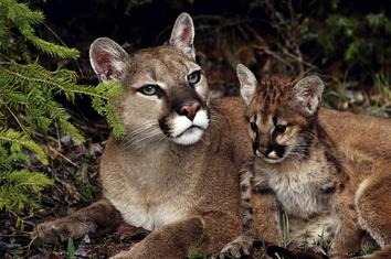 Puma y cría