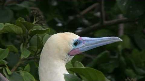 Red-footed Booby-0