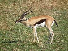 220px-Gazella thomsonii Thomsons Gazelle in Tanzania 2573 Nevit