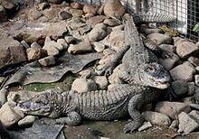 240px-2011 China-Alligator 0491