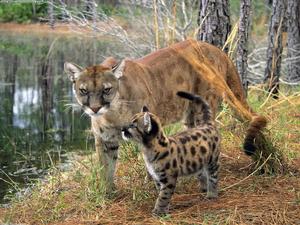 Puma euroasiatico 2