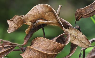Gecko satanico 2