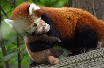 Panda rojo 5
