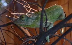 250px-Chamaeleo jacksonii