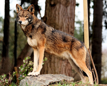 Lobo rojo 4