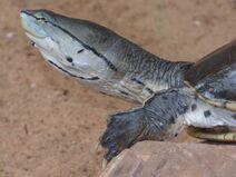 Phrynops hilarii zoo juan XXIII 15oct15 head