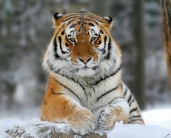Tigre siberiano 2