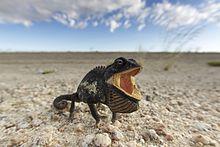 Chamaeleo namaquensis (Namib-Naukluft, 2011)