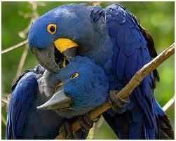 Loro azul